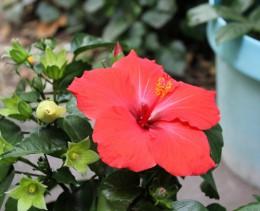 hibiscus-blumen-kräntzer